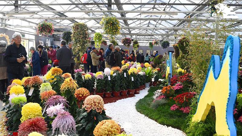 نمایشگاه گل داوودی پکن