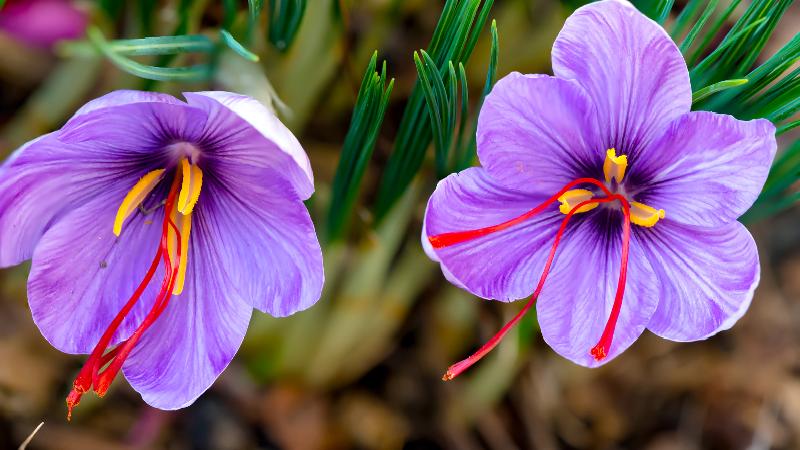 آشنایی با نکات مهم صادرات زعفران به چین در بازرگانی الین